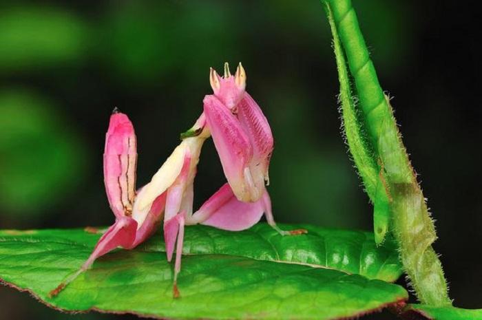 Орхидейный богомол получил своё название за свою необычную окраску, напоминающую цветок орхидеи.