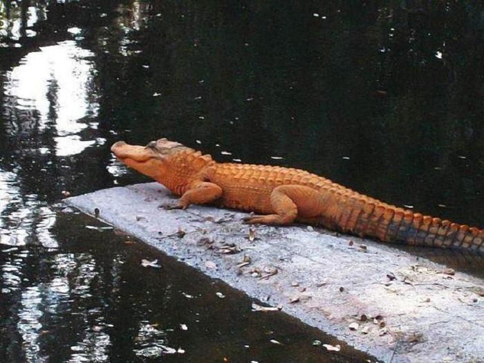 В австралийском городе Джилонг обитает уникальный оранжевый крокодил.