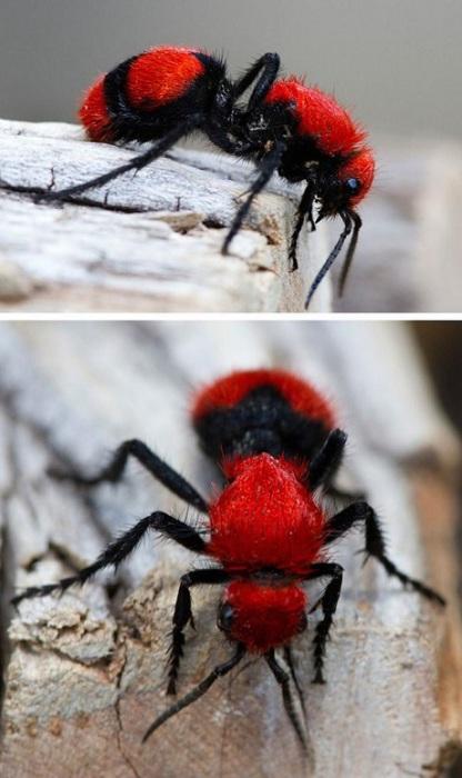На самом деле эти насекомые – пушистые осы.