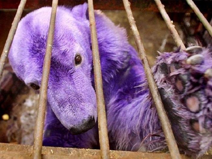 Медведица Пелуса из зоопарка Буэнос Айреса стала ярко-фиолетовой из-за лекарства, которым ветеринары лечат ее кожу.