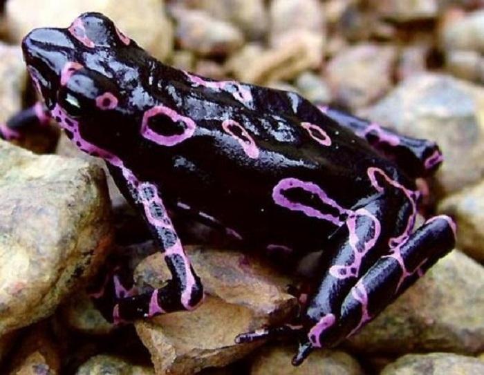 Водится такая лягушка на Коста-Рике.