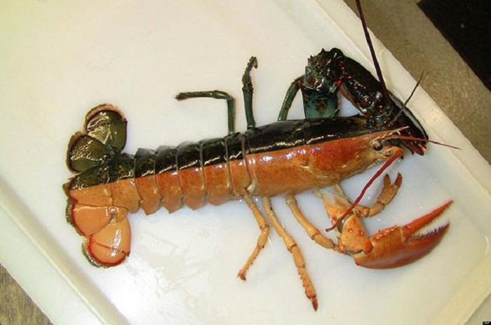 Двухцветный омар-самка по имени Пинчи.