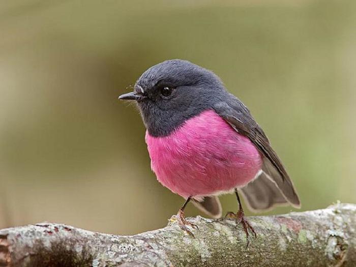 Кругленькая маленькая птичка весом всего около 10 г., которая обитает в густых лесах умеренного и тропического поясов юго-восточной Австралии.