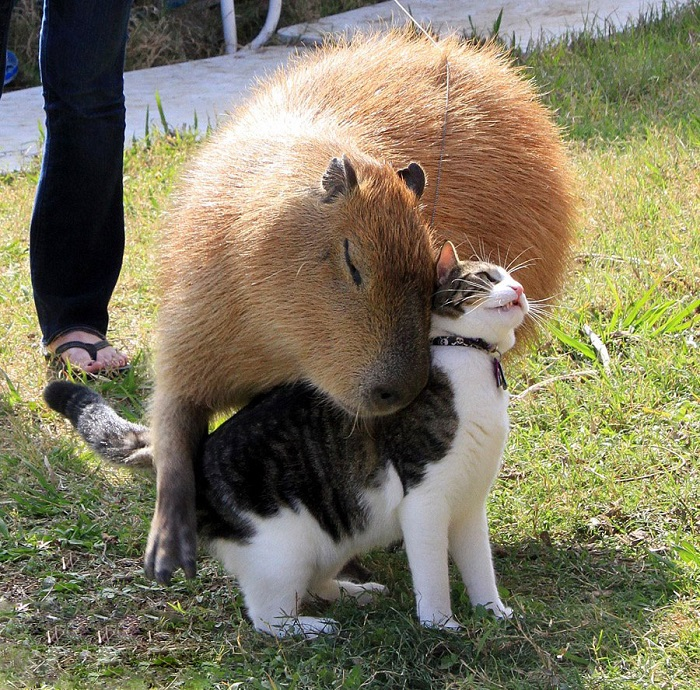 Капибара лащится к коту.