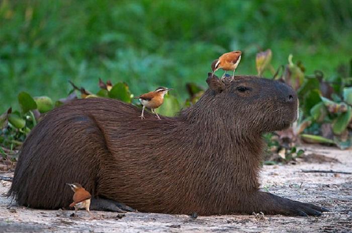 Спокойное и дружелюбное существо - капибара.