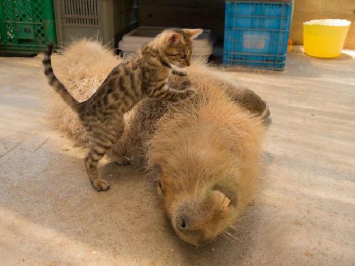Гигантская морская свинка играет с котёнком.