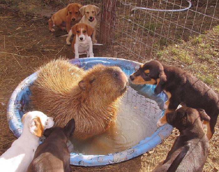 Самый крупный грызун на планете купается в окружении щенков.