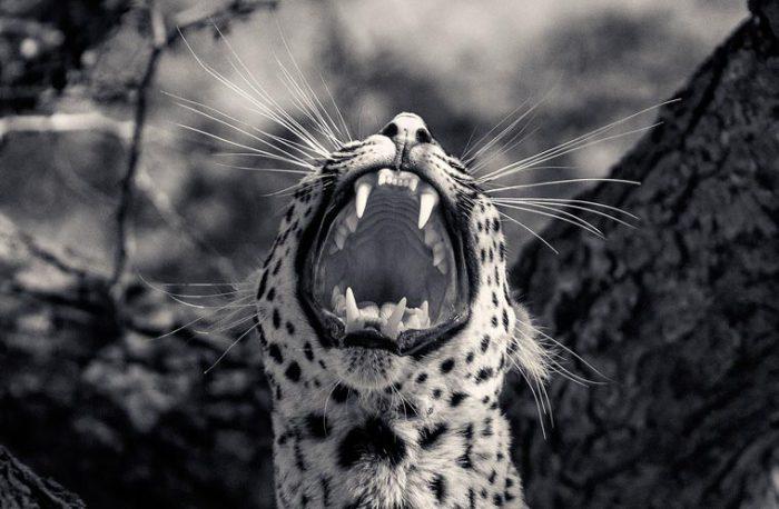 Именно зубы и когти грозное оружие леопарда.