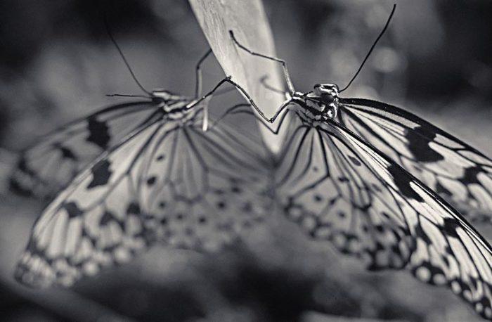 Ночная бабочка никтипао отпугивают птиц своим запахом.