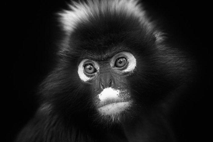 Самый необычный вид обезьян с белыми участками шерсти, обрамляющими глаза.