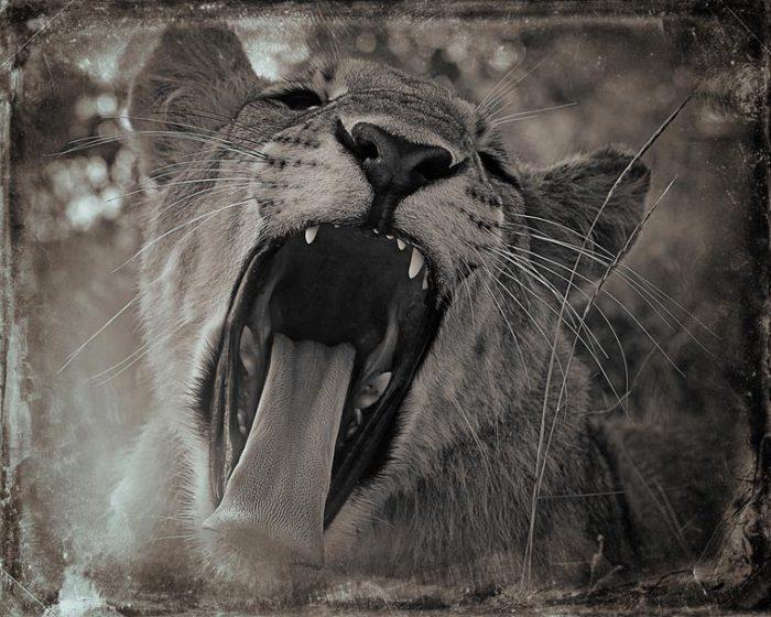 Самая устрашающая зевота принадлежит «царю зверей».