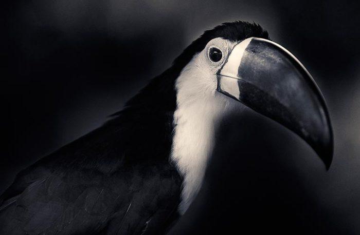Любопытная птица-проказница, одна из самых шумных в джунглях.