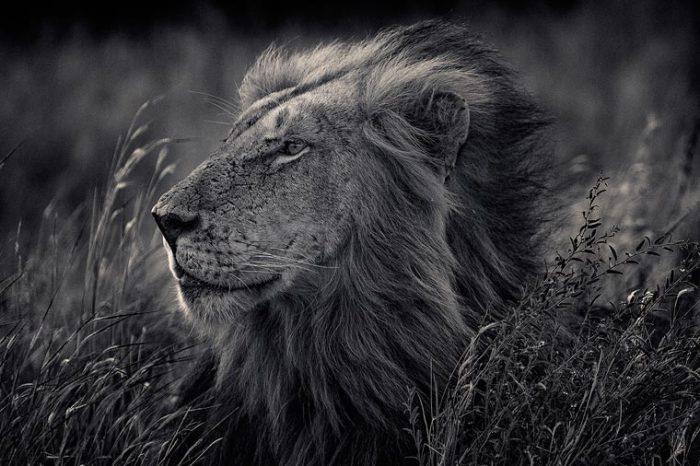 «Царь зверей» с королевской и густой гривой.