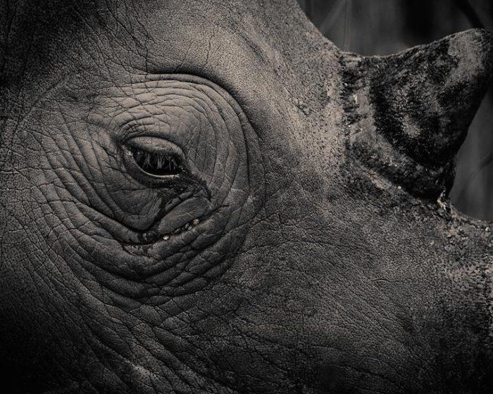 Одно из самых крупных травоядных млекопитающих на Земле.