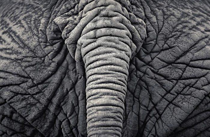 Морщинистый хвост африканского слона почти такой же длины, что и задние ноги.