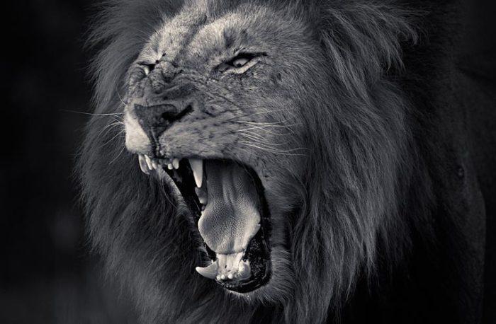 Предрассветный львиный рев.