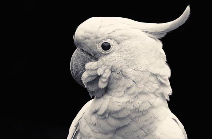 Какаду отличаются от других попугаев наличием подвижных хохолков.