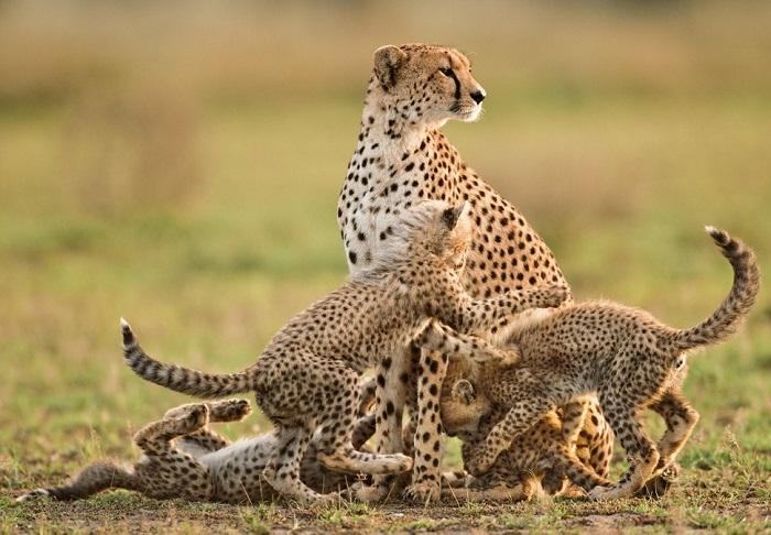 Хищное млекопитающее семейства кошачьих.