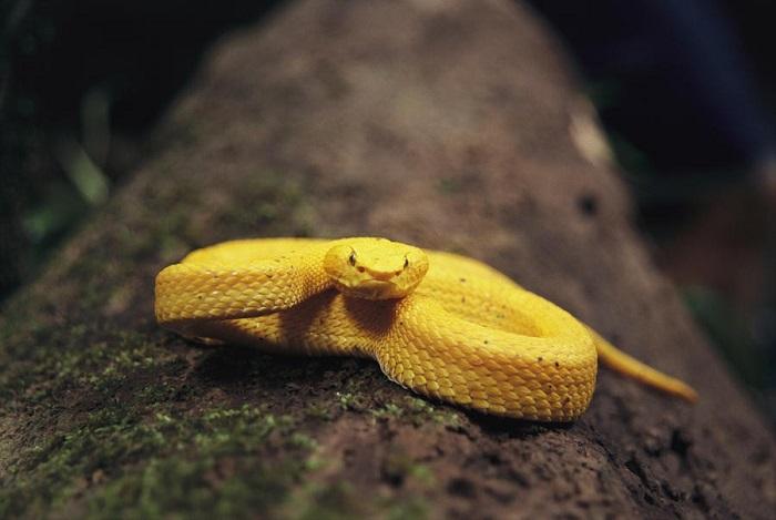 Змея тропических лесов, представитель ямкоголовых гадюк, живущий на деревьях и кустах.