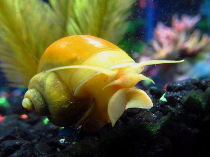 Самая крупная и самая популярная пресноводная аквариумная улитка.
