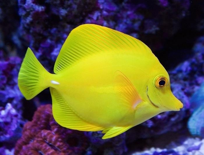 Красивые тропические рыбы с момента оседания на риф и начала роста больше не мигрируют, и на всю жизнь остаются в пределах выбранного места обитания, не удаляясь от него дальше, чем на пол мили.