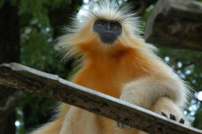 Лангур относится к группе листовых обезьян, основу диеты которых составляют листья.