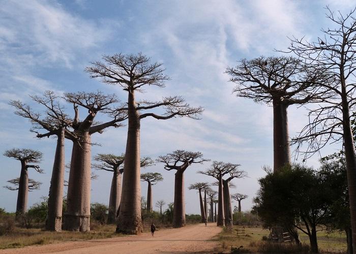 Аллея баобабов является достопримечательностью, обязательной для посещения всеми уважающими себя туристами.