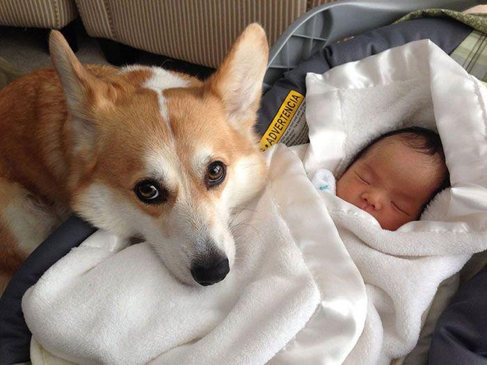 Пёс знакомится с новорождённым ребёнком.