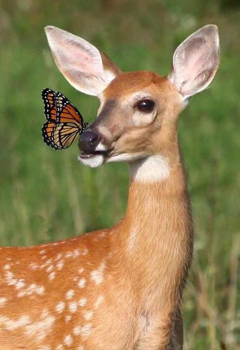 Знакомство оленёнка с бабочкой.