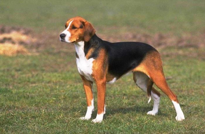 Охотничья порода собак крупных размеров.