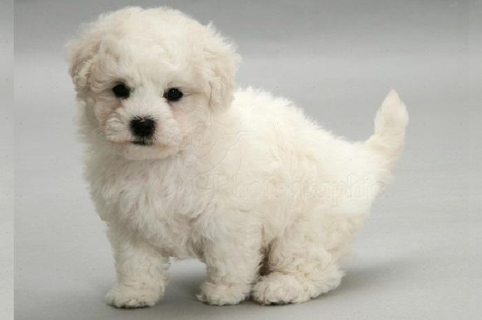 Удивительно ласковая, маленькая собака, которая просто рождена для того, чтобы быть верным спутником человека.