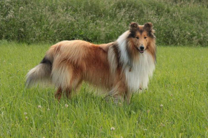 Шотландская овчарка, из пастушьих служебных собак. Веками это животное охраняло отары овец в Шотландии.