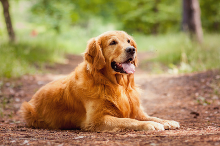 Охотничья порода собак, выведенная в Великобритании в XIX веке.