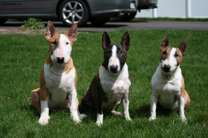 Одна из тех пород, которым незаслуженно приписываются качества опасной и агрессивной по отношению к человеку собаки.