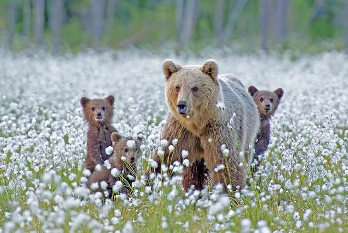 Медведицы с медвежатами.