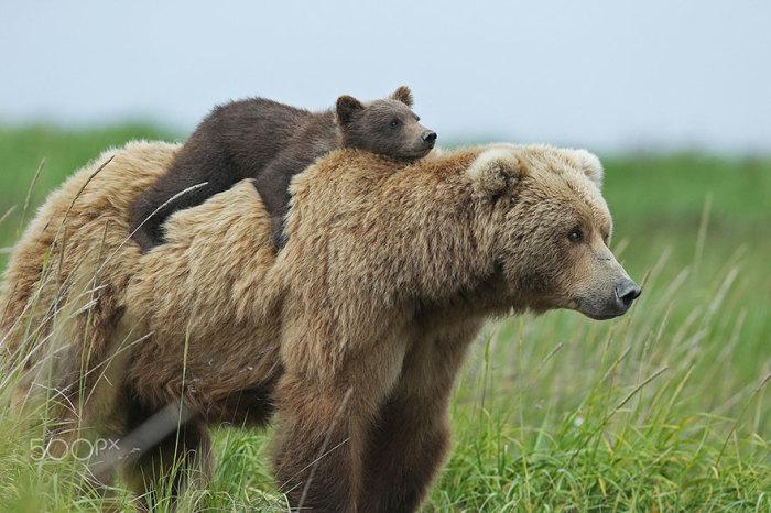 Маленький медвежонок от усталости забрался на спину мамы.