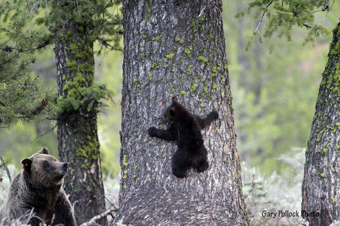 Под чутким руководством мамы медведь учится лазить по деревьям.
