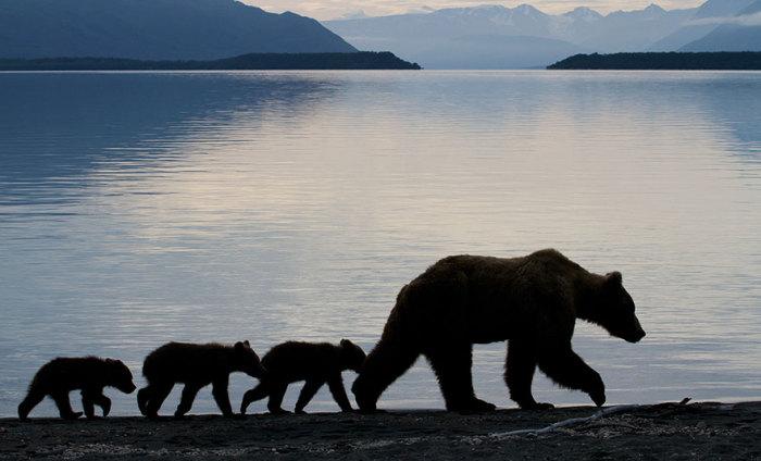 Мама медведица и четыре медвежонка в поисках ночлега.