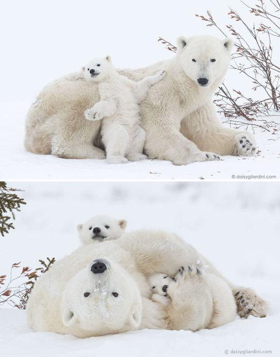 Медвежья семья резвится на белоснежном покрывале.