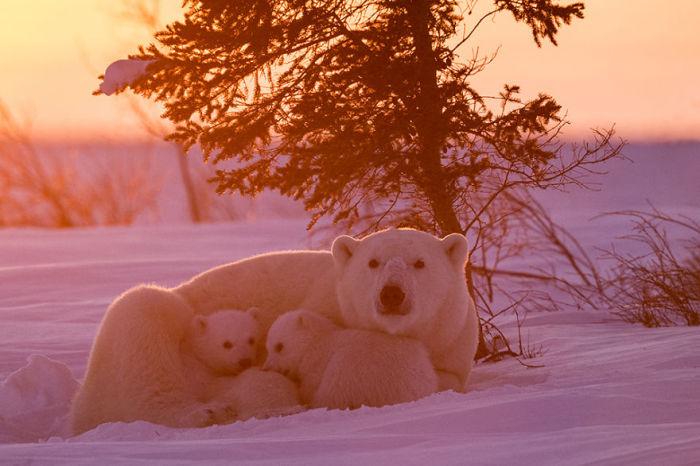 В вечерних лучах заходящего солнца хозяйка снегов и ее детки.