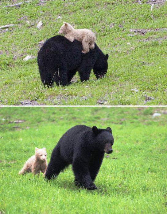 Такие разные медведи по шерстяному покрову.