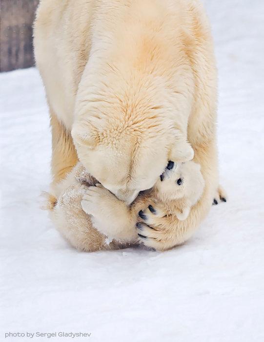 Медведица, обнимающая своего детеныша.