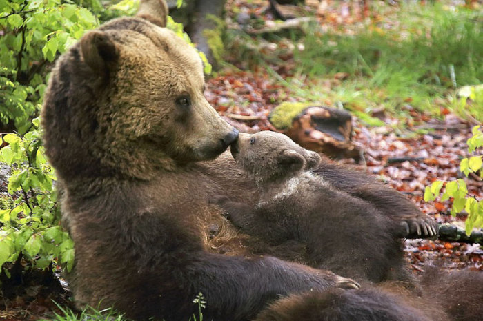 Маленький Барни, лежа на мягком животе у мамы, целует ее.