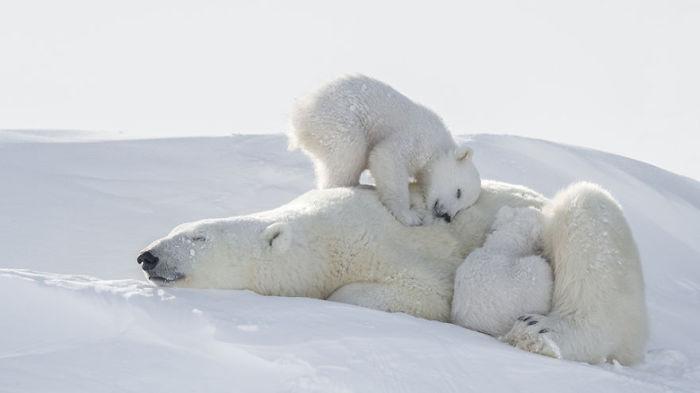Семейство спящих белых медведей сливается со снегом.