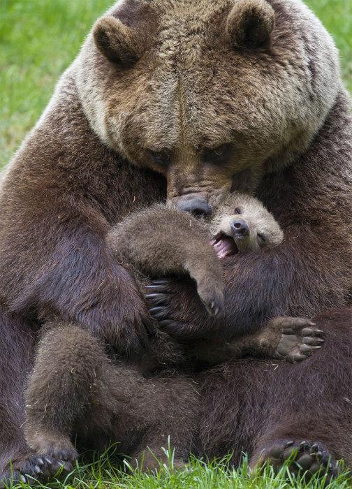 Бурая медведица умывает своего кричащего сыночка.