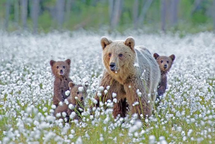 Мама медведица проводит обучающий урок для своих детей.