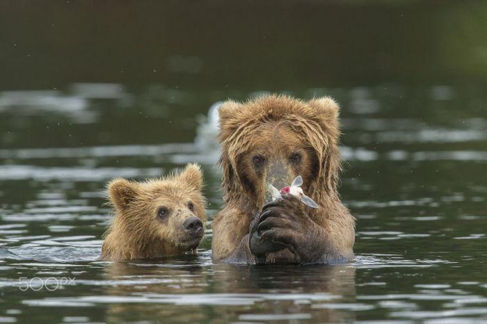 Большой и малый медведь охотятся в воде на рыбу.
