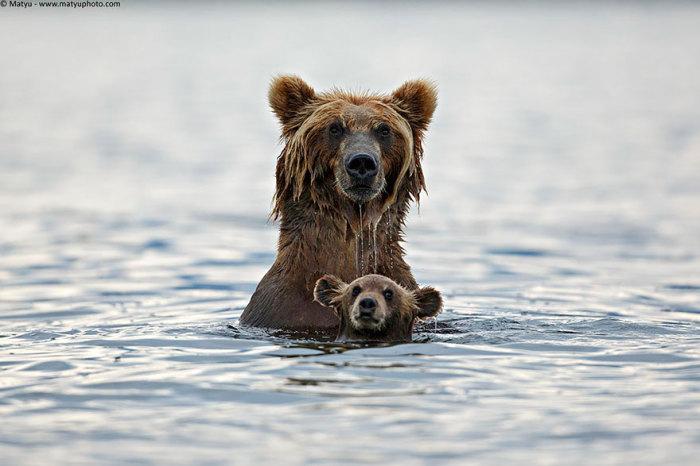 Косолапые медведи рано утром купаются на речке.