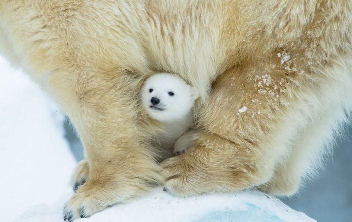 Малютка мишутка спрятался в теплой и огромной шерстяной шубке у мамы.