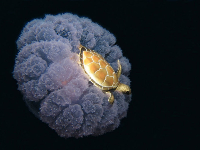 Фотография была сделана в Микронезии на глубине 25 метров от поверхности воды.